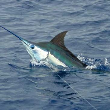 MARLIN FISHING – BILLFISH REPORT