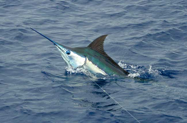 MARLIN FISHING – BILLFISH REPORT